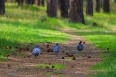 Pigeons de marche Photos libres de droits