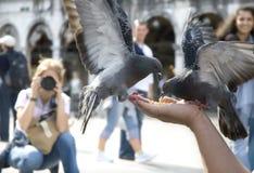 Pigeons de marco de rue Image stock