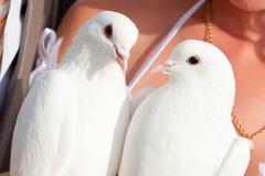 Pigeons de mariage dans des mains du marié et du brid Photo stock