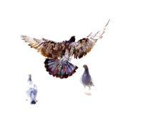 pigeons de mouche Illustration Libre de Droits
