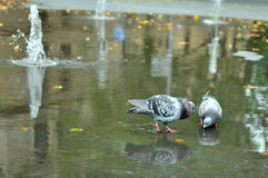 Pigeons de ondulation Photo stock