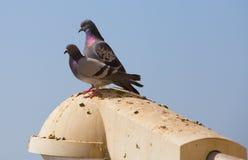 Pigeons de paires d'amour Photographie stock
