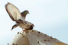 Pigeons de paires d'amour Image libre de droits