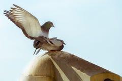 Pigeons de paires d'amour Images stock