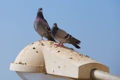 Pigeons de paires d'amour Photo libre de droits