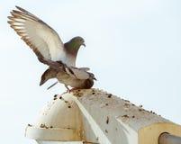 Pigeons de paires d'amour Images libres de droits