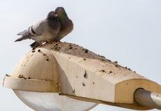 Pigeons de paires d'amour Image stock