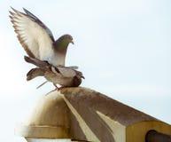Pigeons de paires d'amour Photos libres de droits