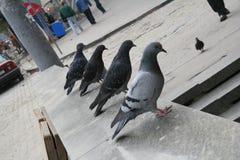 Pigeons de soldat Images stock