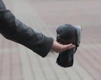 Pigeons de ville Photos libres de droits