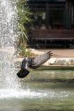 Pigeons de ville en vol Image libre de droits