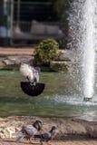 Pigeons de ville en vol Photographie stock libre de droits