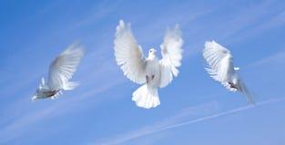 Pigeons de vol Photographie stock libre de droits