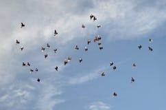 Pigeons de vol Photographie stock