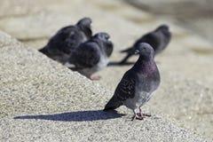 Pigeons de Yokohama Japon Images libres de droits