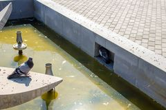 Pigeons in a dirty fountain. Are hiding from the heat. Balabanovo, Russia royalty free stock photography