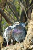 Pigeons doux de couples Photographie stock libre de droits