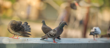 PIGEONS IN A DOVE COTE. MESSENGER PIGEONS IN A DOVE COTE Selective focus stock photo