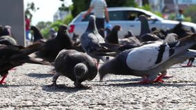 Pigeons Doves Bird Animal. Pigeons Doves Bird Flying Animal stock video footage