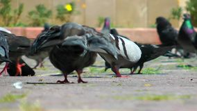 Pigeons Doves Bird Animal stock video footage