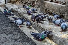 Pigeons And Doves, Bird, Beak Royalty Free Stock Images