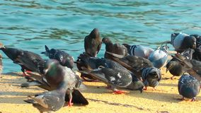 Pigeons Doves Bird Animal stock footage