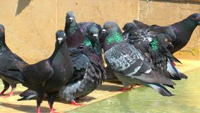 Pigeons Doves Bird Animal. Pigeons Doves Bird Flying Animal stock video