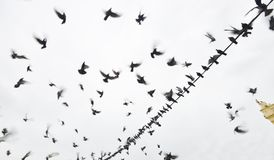 Pigeon or Doves. Pigeons and doves constitute the animal family Columbidae and the order Columbiformes, which includes about 42 genera and 310 species royalty free stock photography