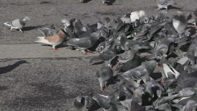 Pigeons and Doves stock video