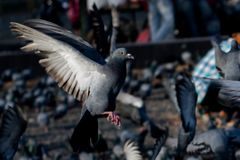 Pigeons and doves royalty free stock photography