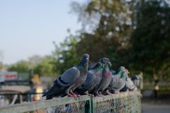 Pigeons and doves royalty free stock images