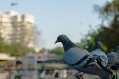 Pigeons and doves royalty free stock photo