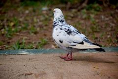 Pigeons and doves white feature fleshy ceres. DOVES white feature fleshy ceres black scars garden smooth looks pigeons royalty free stock images