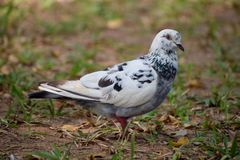 Pigeons and doves white feature fleshy ceres. DOVES white feature fleshy ceres black scars garden smooth looks pigeons royalty free stock photography