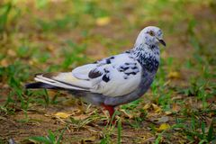 Pigeons and doves white feature fleshy ceres. DOVES white feature fleshy ceres black scars garden smooth looks pigeons stock photos