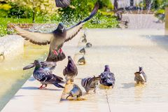 Free Pigeons Drink Water At The Fountain And Look For Coolness On A Hot Day_ Royalty Free Stock Photos - 151336618