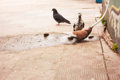 Pigeons drink water Stock Photos
