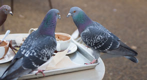 Pigeons drinking the coffee Stock Images