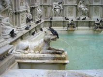 Pigeons are drinking water from the fountain in Siena. Detail of Royalty Free Stock Image