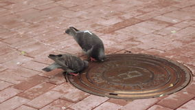 Pigeons drinking water. With lid sewer pigeons drink water stock video