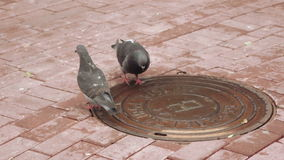Pigeons drinking water. With lid sewer pigeons drink water stock video footage