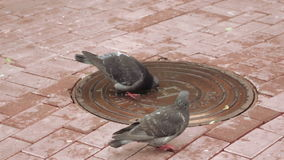 Pigeons drinking water. With lid sewer pigeons drink water stock footage