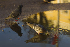 Pigeons drinking water from puddles, sunlight Royalty Free Stock Images
