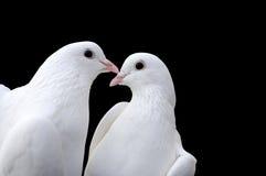 Pigeons du jour de Valentine photos stock