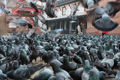 Pigeons in Durbar Square Stock Image