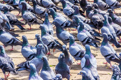 Pigeons of durbar square Royalty Free Stock Photos