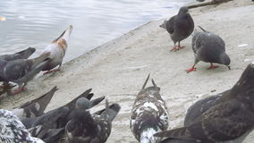 Pigeons eat bread on the coast of city pond. stock video footage