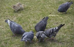 Pigeons and gopher. Pigeons eat food with gopher stock photo