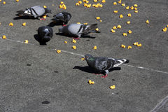 Pigeons eat junk food. A bunch of pigeons eat junk food off the ground Stock Image