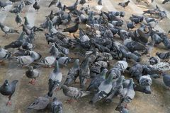 Pigeons eat a lot of food on the floor. Pigeons eat a lot of food on the floor royalty free stock photography